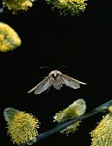 Common Quaker (Orthosia cerasi) moth flying over pussywillows, United Kingdom  -  Stephen Dalton