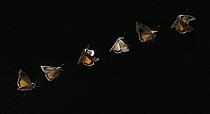 Large Yellow Underwing (Noctua pronuba) moth flying, multiflash image, Europe and North America  -  Stephen Dalton