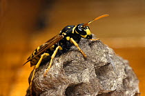 Paper Wasp (Polistes gallicus) on nest, Europe  -  Albert Lleal