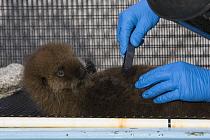 Sea Otter (Enhydra lutris) pup in rehabilitation center getting groomed, California  -  Suzi Eszterhas