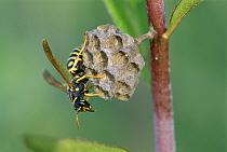 Wasp (Polistes nimpha) constructing nest, Switzerland  -  Thomas Marent