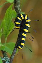 Alder Moth (Apatele alni) caterpillar, Switzerland  -  Thomas Marent