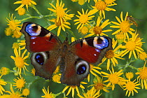 Peacock Butterfly (Inachis io) on flowers, Switzerland  -  Thomas Marent