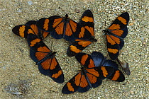 Brush-footed Butterfly (Actinote sp) group gathering to sip minerals and salts from sand along riverbank, Manu National Park, Peru  -  Thomas Marent