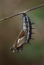 Brush-footed Butterfly (Actinote sp) chrysalis, Manu National Park, Peru  -  Thomas Marent