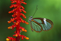 Glasswing Butterfly (Ithomania sp), Tingomaria, Peru  -  Thomas Marent