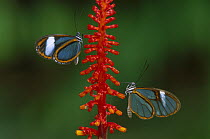 Glasswing Butterfly (Ithomania sp) pair, Tingomaria, Peru  -  Thomas Marent