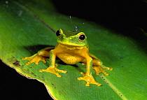 Dainty Tree Frog (Litoria gracilenta), Mossman Gorge, Australia  -  Thomas Marent