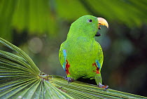 Eclectus Parrot (Eclectus roratus) male calling, Daintree National Park, Australia  -  Thomas Marent