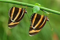 Banded Orange Heliconian (Dryadula phaetusa) butterfly pair hanging below plant, Colombia  -  Thomas Marent