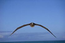 Black-footed Albatross (Phoebastria nigripes) flying, Hawaii  -  Mitsuaki Iwago