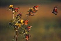 Monarch (Danaus plexippus) butterfly group resting on Giant Sunflower (Helianthus giganteus) during migration, Iowa  -  Jim Brandenburg
