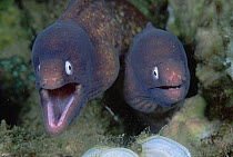 White-eyed Moray (Gymnothorax thyrsoideus) pair at 70 feet, Papua New Guinea  -  Chris Newbert