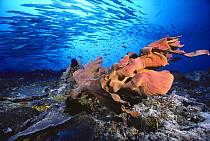 Elephant Ear Sponge (Ianthella basta) and schooling Barracuda (Sphyraena genie) in background, 110 feet deep, Solomon Islands  -  Chris Newbert