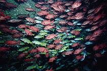 Bigscale Soldierfish (Myripristis berndti) and Blue-and-gold Snapper (Lutjanus viridis) in underwater arch on sea mount, Cocos Island, Pacific Ocean  -  Norbert Wu