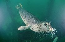 Harbor Seal (Phoca vitulina) swimming underwater, Monterey, California  -  Norbert Wu