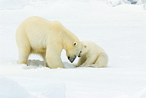 Polar Bear (Ursus maritimus) young cub watching mother dig, Svalbard, Norway  -  Rhinie van Meurs/ NIS
