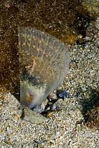 Pen Shell (Pinna nobilis) on seafloor, Mediterranean Sea  -  Hans Leijnse/ NiS