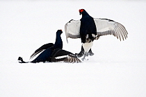 Black Grouse (Tetrao tetrix) two males fighting in snow, Oulu, Finland. Sequence 6 of 8.  -  Jan Vermeer
