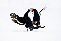Black Grouse (Tetrao tetrix) two males fighting in snow, Oulu, Finland. Sequence 7 of 8.  -  Jan Vermeer
