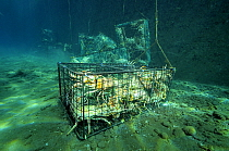 Caribbean Spiny Lobster (Panulirus argus) traps full of lobsters, Saba, Caribbean  -  Hans Leijnse/ NiS