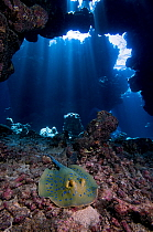 Blue Spotted Fantail Stingray (Taeniura lymma) in cave, Red Sea, Egypt  -  Dray van Beeck/ NiS