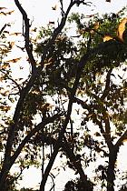 Straw-colored Fruit Bat (Eidolon helvum) group flying to roost, Kasanka National Park, Zambia  -  Stephen Belcher