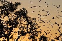 Straw-colored Fruit Bat (Eidolon helvum) group flying into roost tree at sunrise, Kasanka National Park, Zambia  -  Stephen Belcher