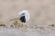 Houbara Bustard (Chlamydotis undulata) male displaying, Fuerteventura, Canary Islands, Spain  -  Winfried Wisniewski