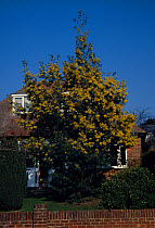 Acacia dealbata Habit, Whole Tree HC  -  Keith Rushforth/ FLPA