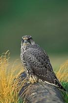 Gyrfalcon (Falco rusticolus) young  -  Winfried Wisniewski/ FLPA