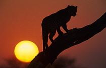 Leopard (Panthera pardus) on tree, in front of the rising sun, Namibia  -  Winfried Wisniewski/ FLPA