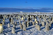 Emperor Penguin (Aptenodytes forsteri) colony, skuas in flight overhead, Atka Bay, Weddell Sea, Antarctica  -  Winfried Wisniewski/ FLPA