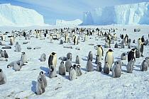 Emperor Penguin (Aptenodytes forsteri) colony, Weddell Sea, Antarctica  -  Winfried Wisniewski/ FLPA