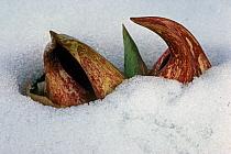 Eastern Skunkcabbage (Symplocarpus foetidus) in snow, Michigan, U.S.A., april  -  Larry West/ FLPA