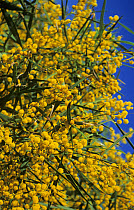 Acacia (Acacia dealbata) in flower, Andalusia, Spain  -  Hans Dieter Brandl/ FLPA