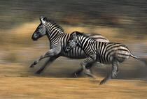 Zebra (Equus quagga) adult and young running  -  Winfried Wisniewski/ FLPA