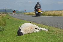 Domestic Sheep, dead lamb, roadkill on verge, motorcyclists on road, North Yorkshire, England  -  John Eveson/ FLPA