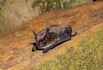 Brandt's Bat (Myotis brandtii) adult, roosting on stone, England  -  Hugh Clark/ FLPA