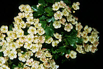 Midland Hawthorn (Crataegus laevigata) close-up of flowers  -  Maurice Nimmo/ FLPA