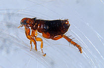 Dog flea (Ctenophalides canis) on hair  -  Nigel Cattlin/ FLPA
