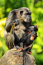 Chimpanzee (Pan troglodytes) adult female with baby, feeding on palm frond, sitting on rock (captive)  -  Jurgen and Christine Sohns/ FLPA