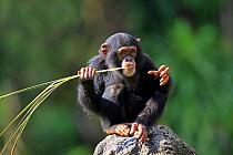 Chimpanzee (Pan troglodytes) young, feeding on palm frond, sitting on rock (captive)  -  Jurgen and Christine Sohns/ FLPA