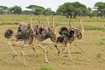 East African Ostrich (Struthio camelus massaicus) six juveniles, running, Serengeti National Park, Tanzania  -  Winfried Wisniewski/ FLPA