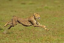 Cheetah (Acinonyx jubatus) adult female, running, hunting in grassland, Serengeti National Park, Tanzania  -  Winfried Wisniewski/ FLPA