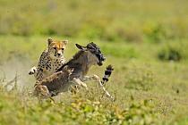 Cheetah (Acinonyx jubatus) adult female, hunting, chasing Blue Wildebeest (Connochaetus taurinus) calf, Serengeti National Park, Tanzania  -  Winfried Wisniewski/ FLPA