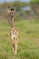 Masai Giraffe (Giraffa camelopardalis tippelskirchi) young, standing in savanna, Serengeti National Park, Tanzania  -  Winfried Wisniewski/ FLPA