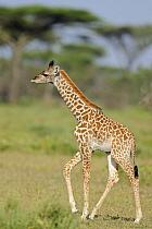Masai Giraffe (Giraffa camelopardalis tippelskirchi) young, walking in savanna, Serengeti National Park, Tanzania  -  Winfried Wisniewski/ FLPA