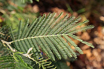 Silver Wattle (Acacia dealbata) close-up of leaves with pinnate leaflets, growing in garden, Bembridge, Isle of Wight, England, june  -  Marcus Webb/ FLPA