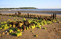 Remains of breakwater covered with seaweed, on beach with incoming tide, Bembridge, Isle of Wight, England, june  -  Marcus Webb/ FLPA